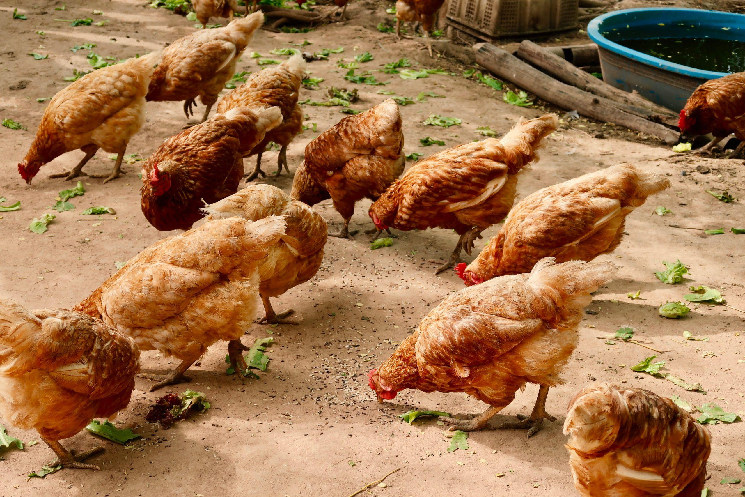 PTIČJA GRIPA PRED VRATIMA Sumnjivo gotovo šest tona mesa peradi