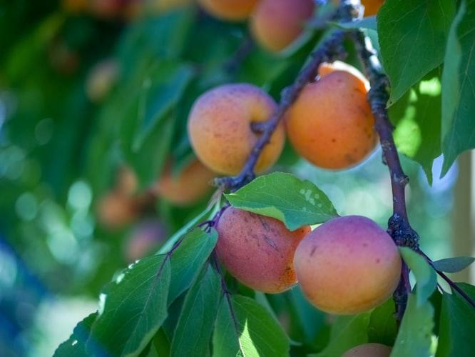 NOVI NASAD Već ima plan na koji način će plasirati popularno voće