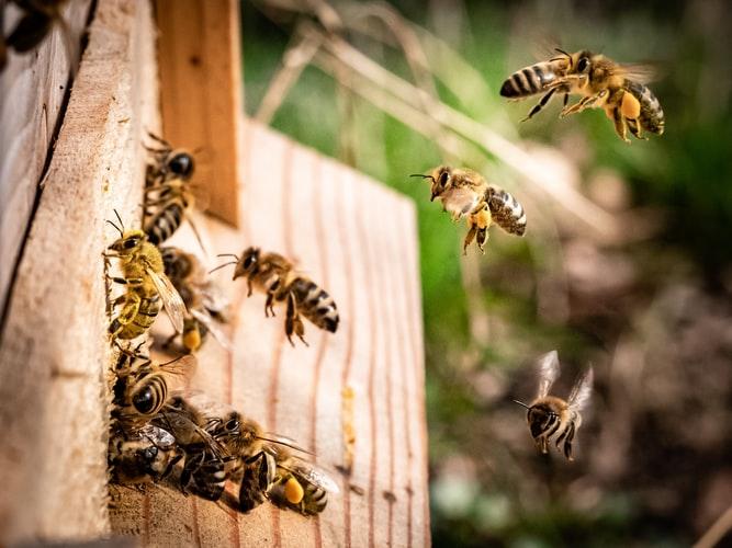 PČELARI, UPOMOĆ U Bjelovaru je nekome pobjegao roj pčela!