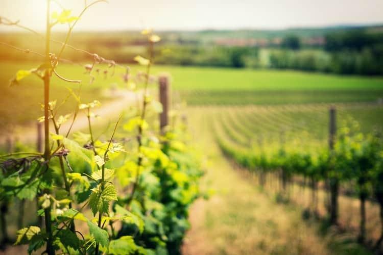 ZLATNA ŽUTICA Vinogradari ozbiljno shvatili opasnost