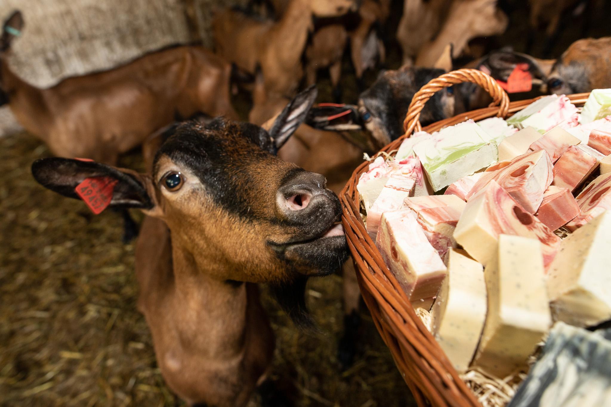 U SLUŽBI ZDRAVLJA Podravska koza postala sinonim za higijenu!