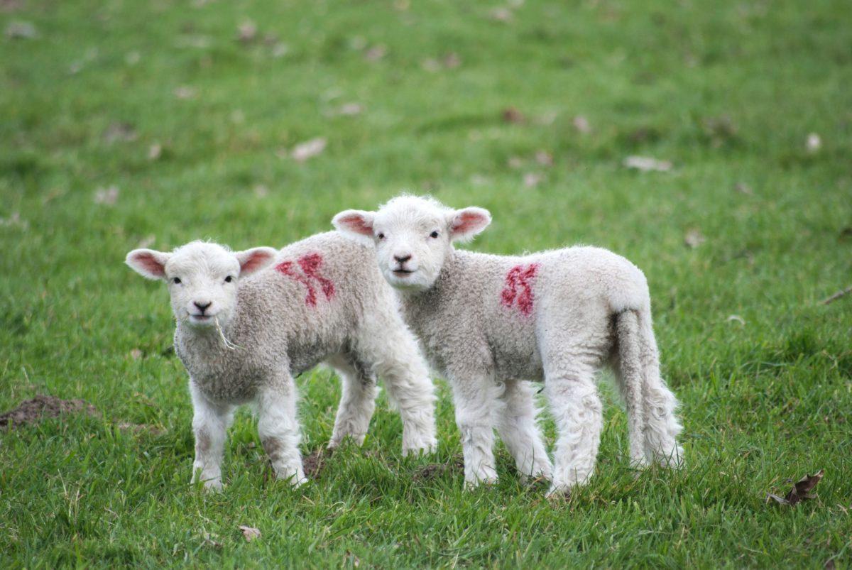 Unatoč pandemiji za dio ovčara krize nema