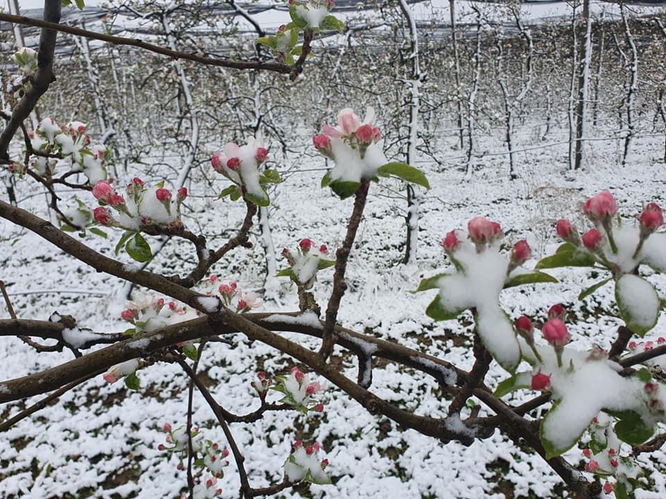 Kakva katastrofa. Jesu li mraz i snijeg već obrali voćnjake?