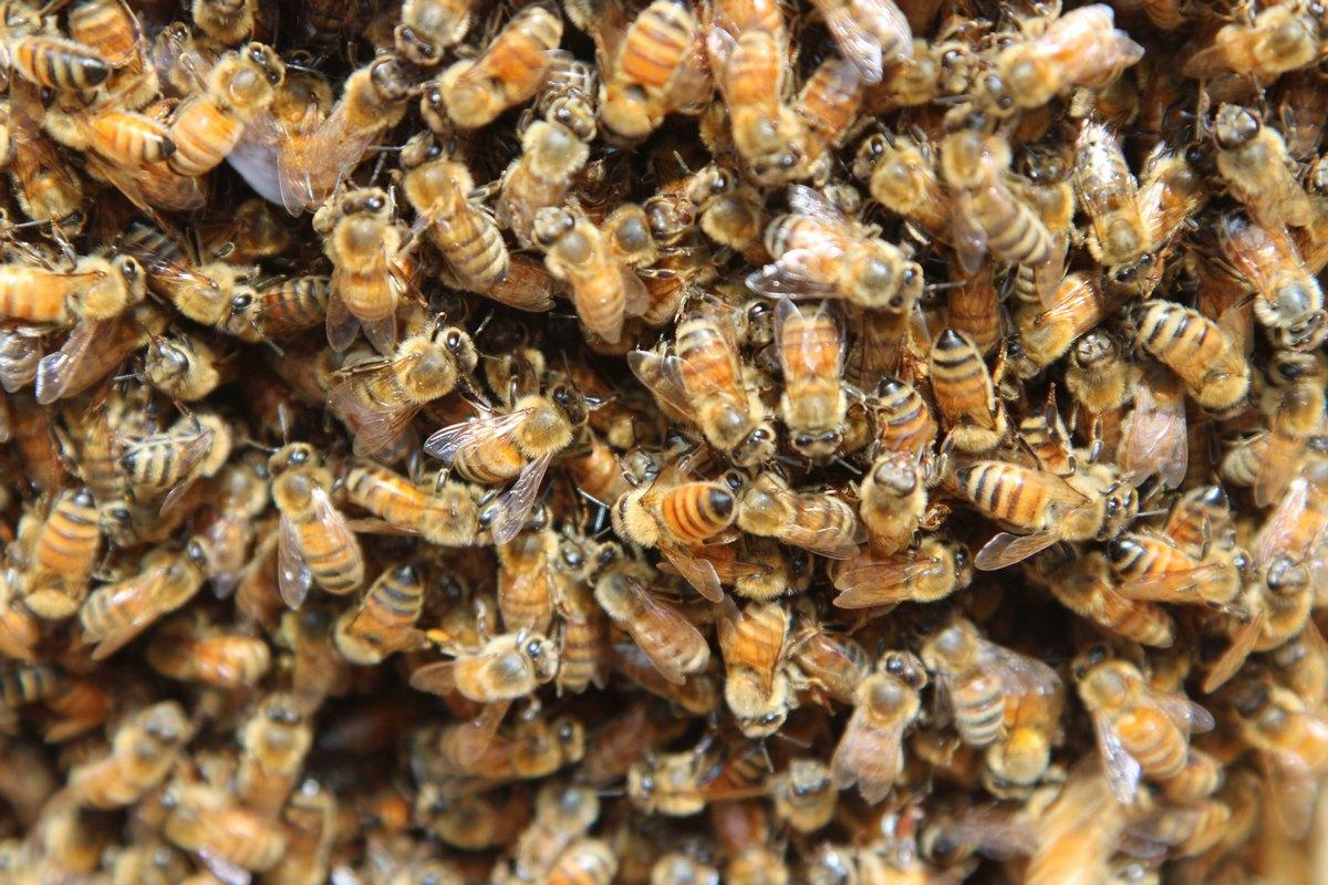 Mogu li pčelari naplatiti rad marljivih životinja?